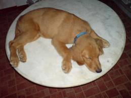 cute golden retriever sleeping pictures