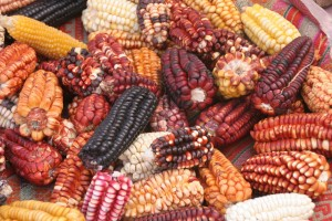 corn seeds picture