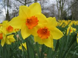 daffodil principle pictures