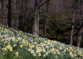 daffodils blossom pictures
