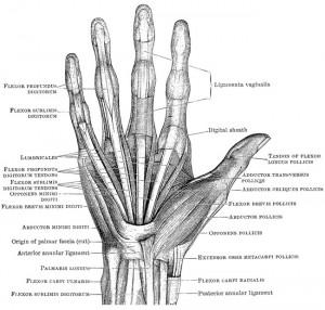 hand bone muscle diagram